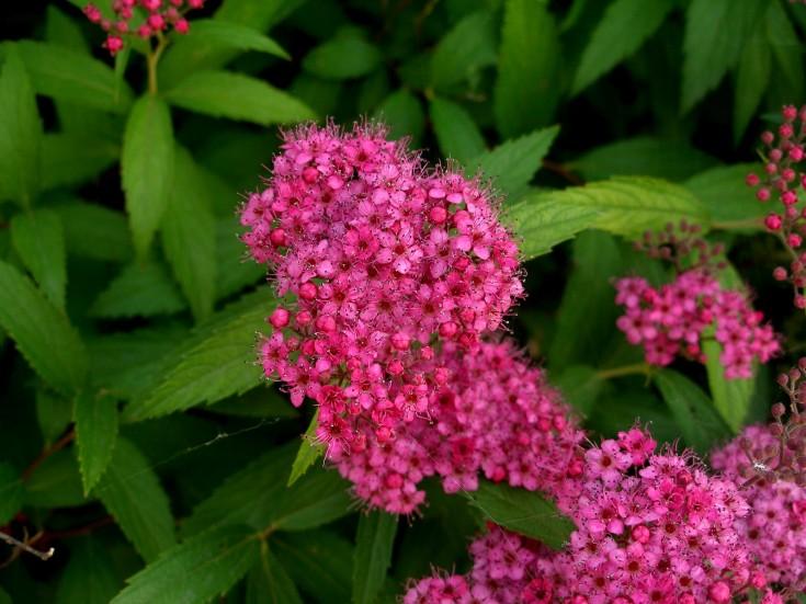 Спирея «Фробели»: описание, посадка, уход и размножение