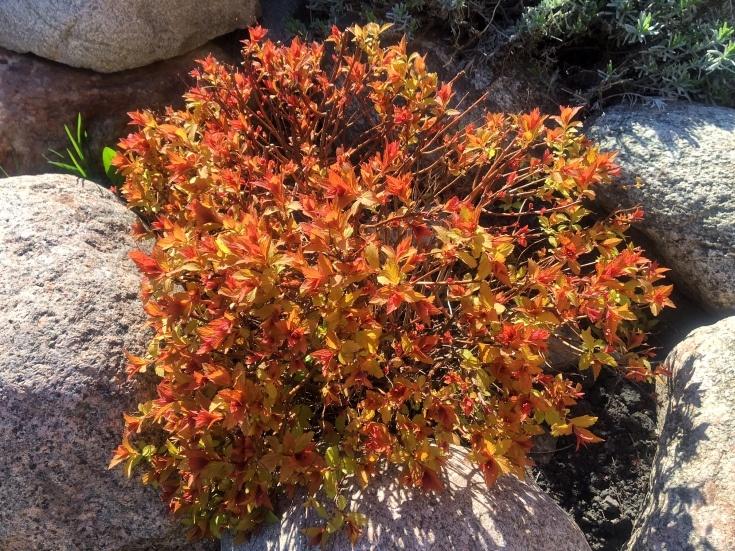 Спирея «Мэджик карпет»: особенности, рекомендации по выращиванию и размножению