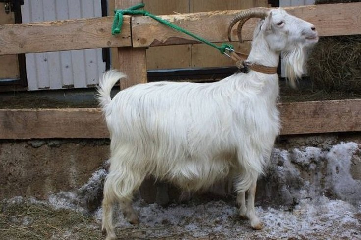 (+25 фото) Как определить вес козы