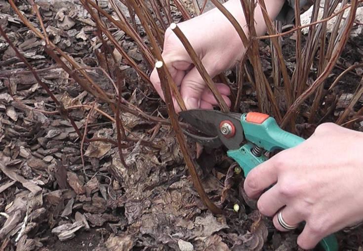 Спирея дубравколистная: описание и секреты выращивания