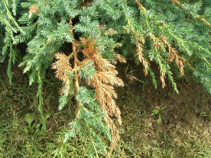 Можжевельник обыкновенный «Хиберника» описание и советы по выращиванию