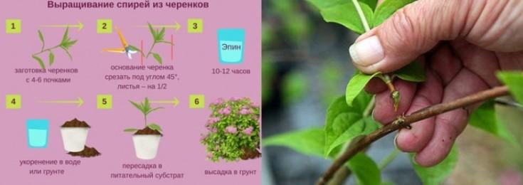Спирея карликовая сорта, выбор, выращивание и размножение