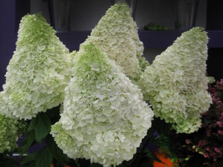 (+21 фото) Гортензия «Киушу»: описание, рекомендации по выращиванию и размножению