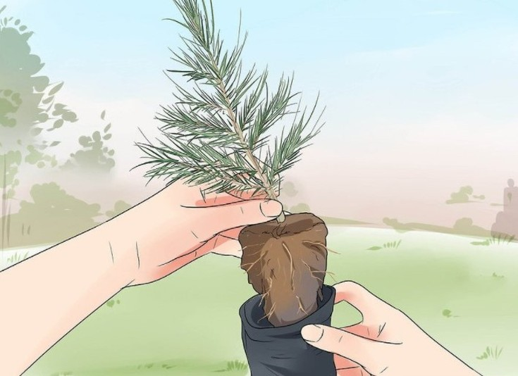 Как пересадить кедр на другое место