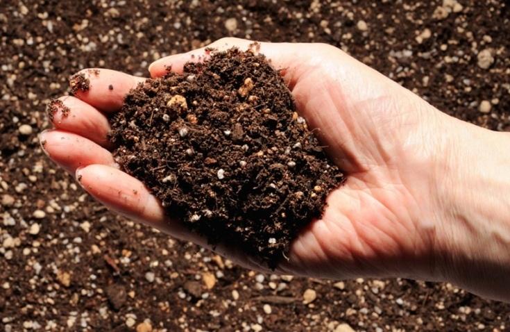 Как вырастить хосту из семян