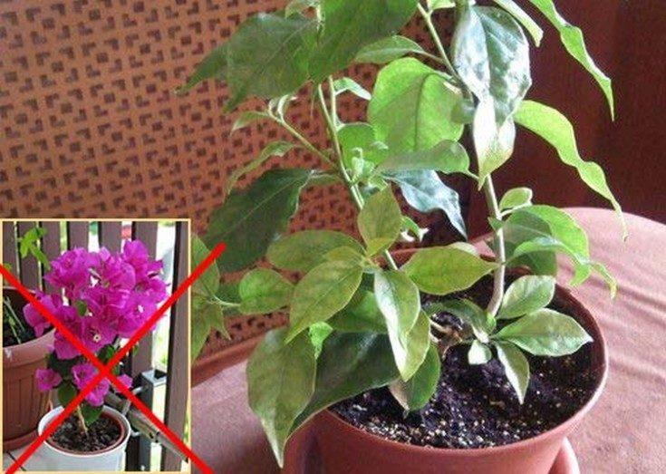 (+41 фото) Бугенвиллия фото и уход в домашних условиях