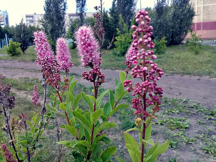 Спирея иволистная: описание, сорта и агротехника