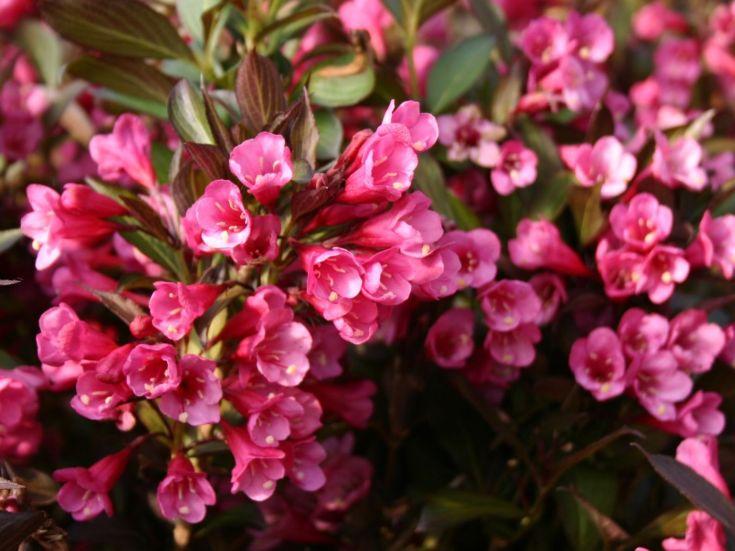 Вейгела цветущая «Александра»: описание, правила посадки и ухода