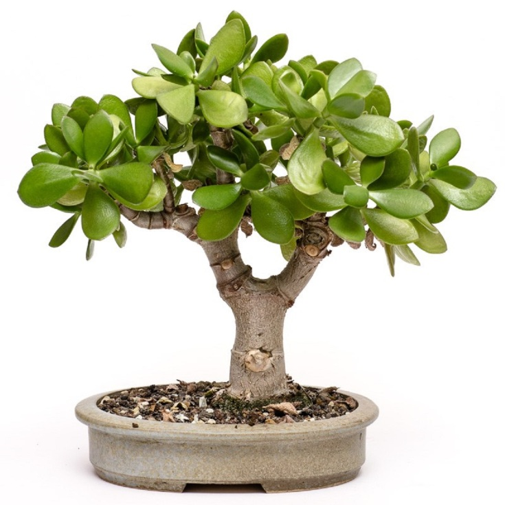 Какой грунт нужен для денежного дерева