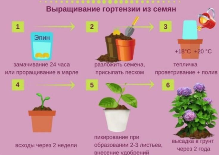 (+25 фото) Как вырастить гортензии из семян