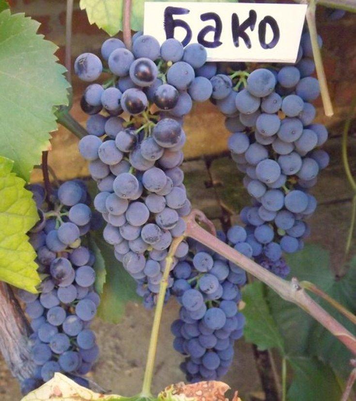 (+15 фото) Виноград Бако