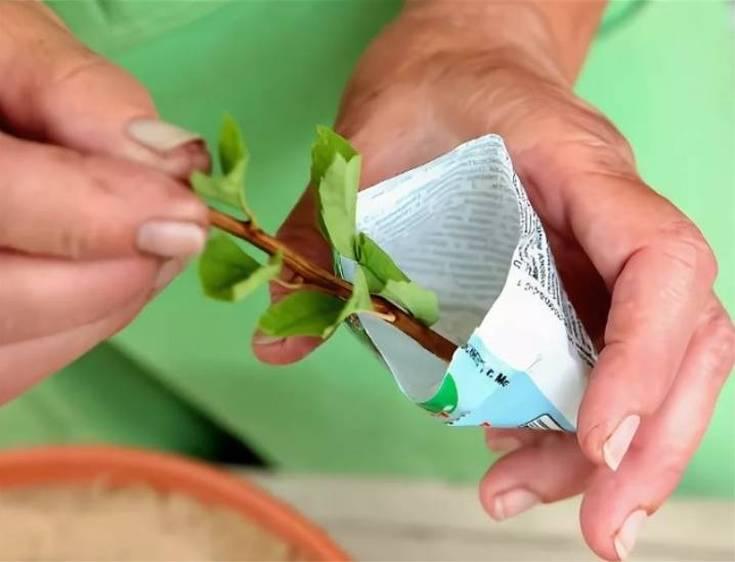 (+15 фото) Тонкости размножения спиреи черенками