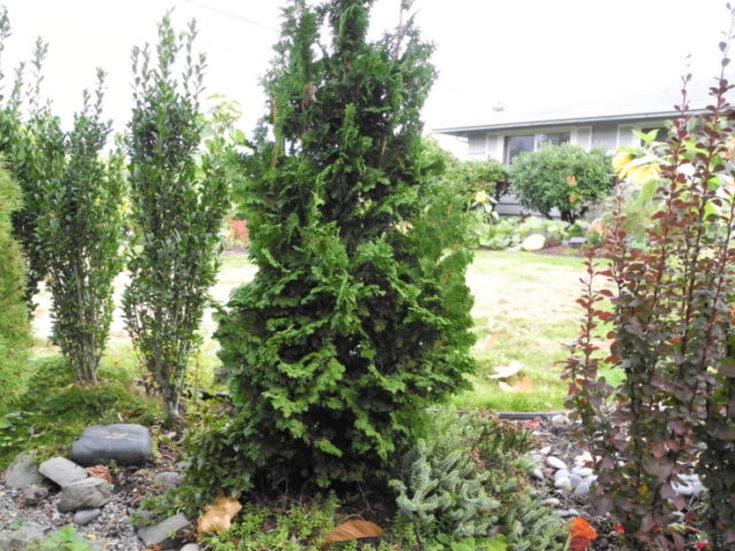 Туя западная «Еллоу риббон» описание и тонкости выращивания