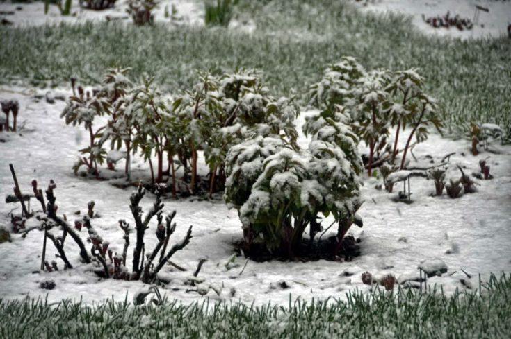 Пионы «Адольф Руссо»: описание сорта, особенности посадки и ухода