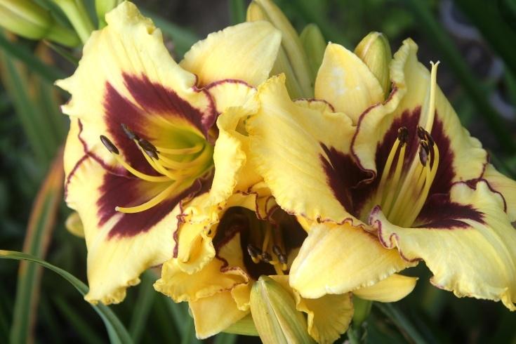 Почему не цветет лилейник и что делать