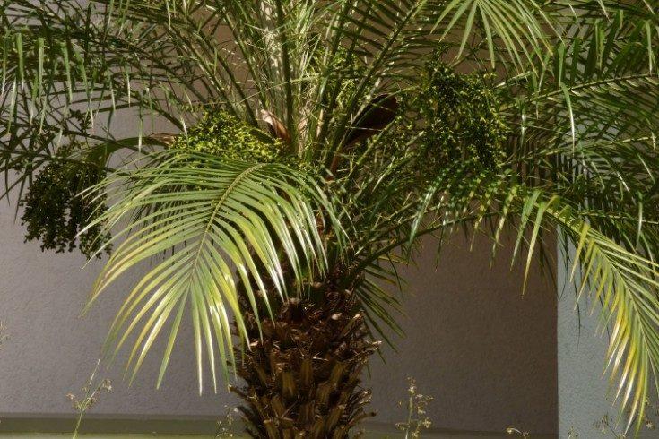 (+79 фото) Декоративная комнатная пальма в интерьере