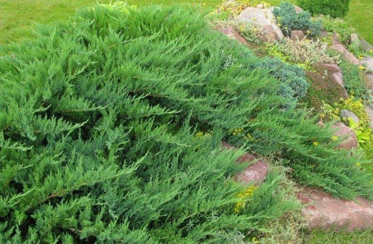 (+85 фото) Лучшие хвойные растения для сада