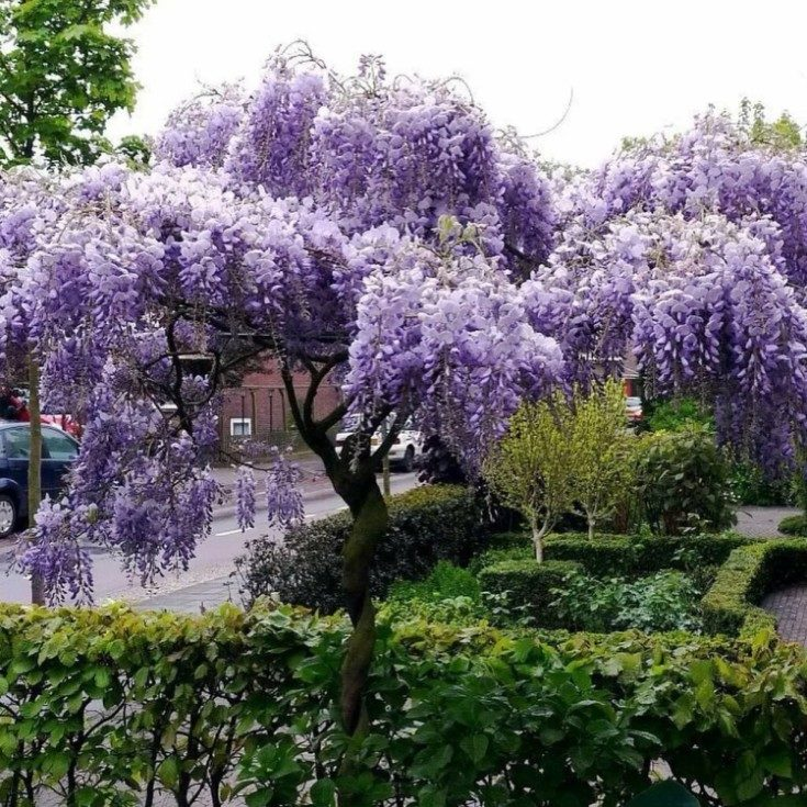 (+70 фото) Декоративные деревья для сада