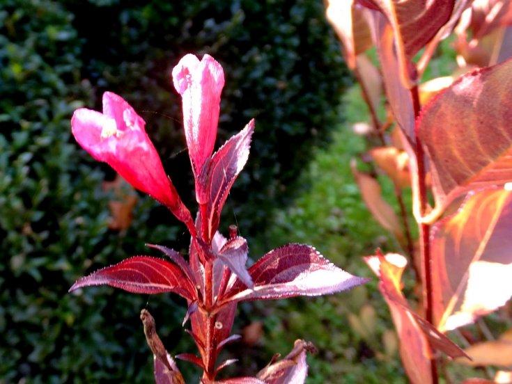 Вейгела «Нана пурпуреа»: описание, выращивание и размножение