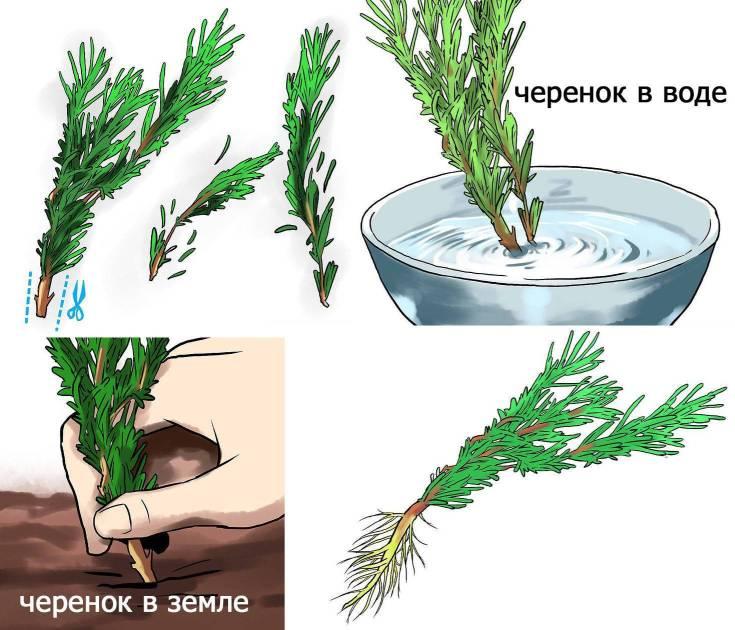 Можжевельник «Арнольд»: описание, советы по выращиванию и размножению