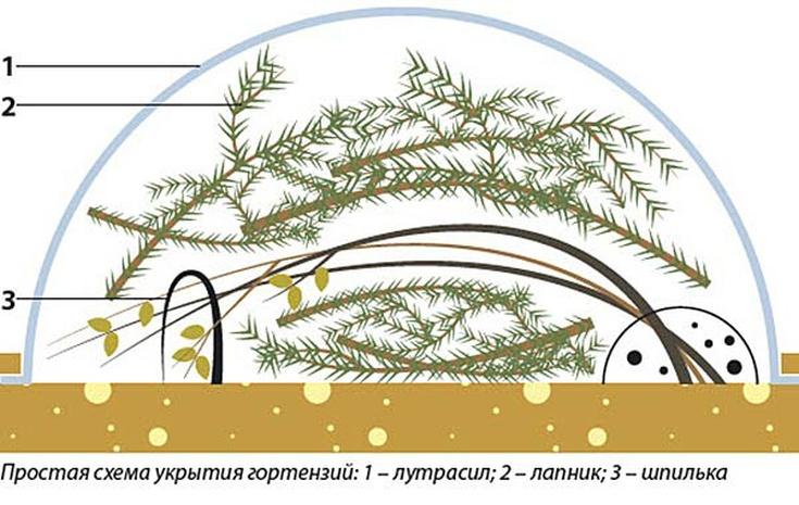 Кустовая гортензия: описание, посадка, уход и размножение