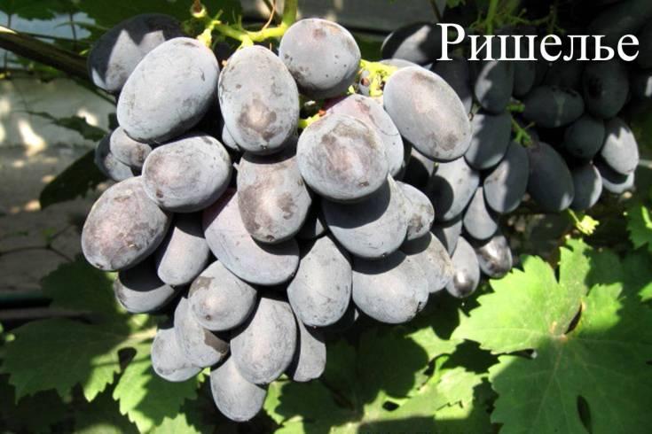 Виноград Ришелье
