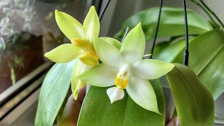 (+28 фото) Зеленые орхидеи: описание сортов и правила ухода
