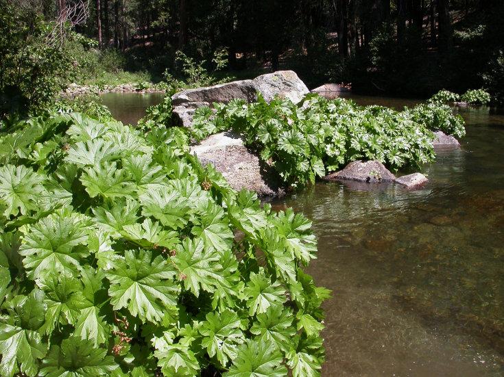 Астильбоидес: описание и агротехника