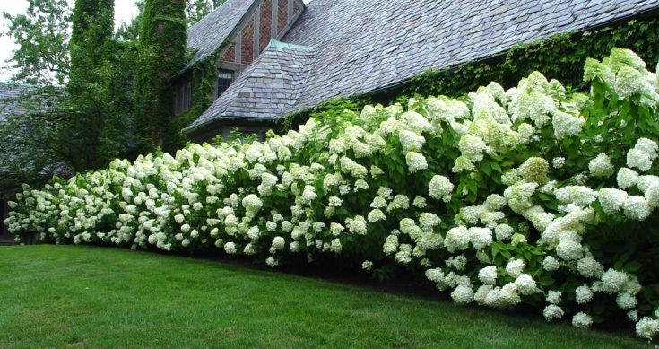 (+65 фото) Декоративные кустарники растущие в тени на даче