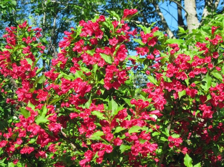 Вейгела цветущая «Ред принц»: описание, секреты посадки и ухода