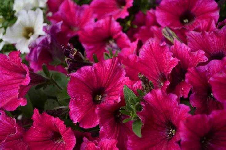 Фриллитуния: сорта, посадка и уход