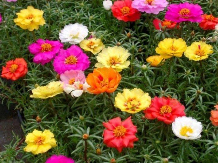 (+92 фото) Неприхотливые цветы для дачи и сада