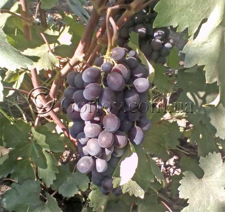 Виноград Тюльпан