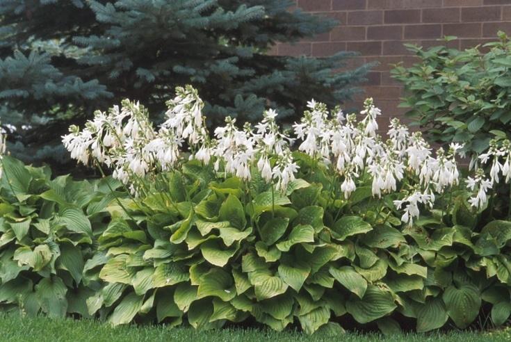 Особенности цветения хосты