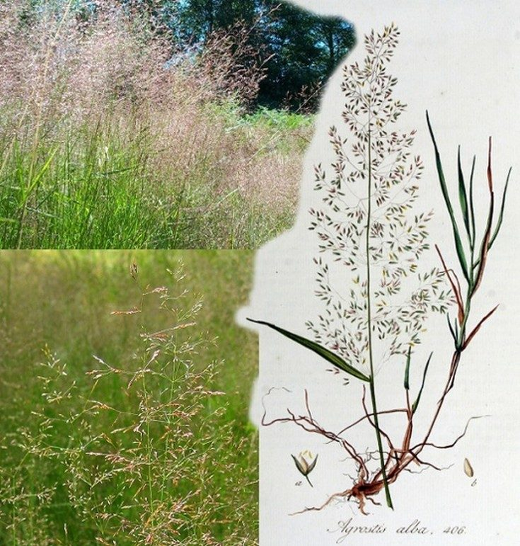 Газонные травы фото и названия