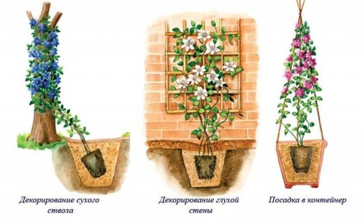 Клематисы «Нелли Мозер» описание, советы по выращиванию и размножению