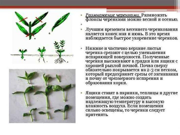 Флокс «Успех» описание, посадка, уход и размножение