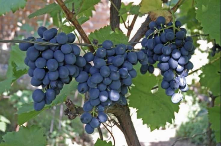 Виноград Декабрьский