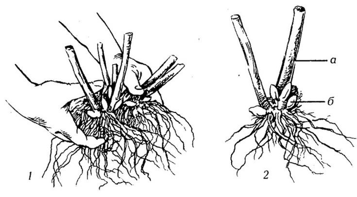 Флокс «Ники»: описание, посадка, уход и размножение