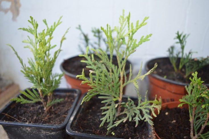 Туя западная «Колумна»: особенности и выращивание