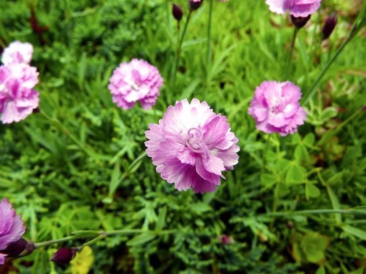 Гвоздика альпийская: описание, сорта, рекомендации по выращиванию